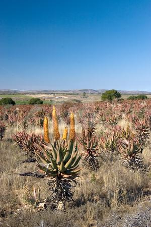 Plants #1 stock photo, Flowering Aloe in an Aloe field - South Africa by Sean Nel