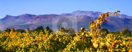 Autumn in the vineyards stock photo, Autumn leaves on the vines in the vineyards at Boschendal, Western Cape, South Africa by Sean Nel