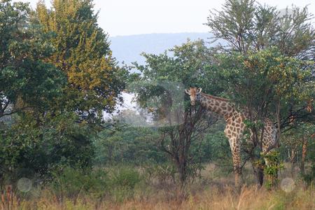 Giraffe stock photo, Giraffe between the trees by Sean Nel