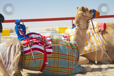 Robot camel racing stock photo, Robot controlled camel racing in the desert of Qatar, Middle East, on a sunny day. Racing camels warming up in the morning sun on the Racetrack. Focus on Remote controlled rider by Sean Nel