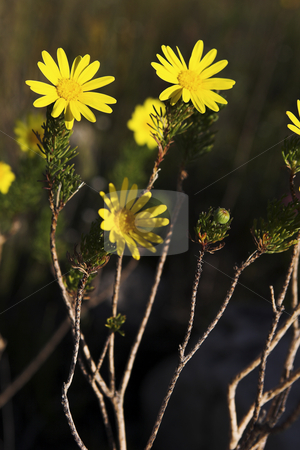 Landscape #02 stock photo, Yellow flowers, d.o.f. Flowers in focus, background out of focus. by Sean Nel
