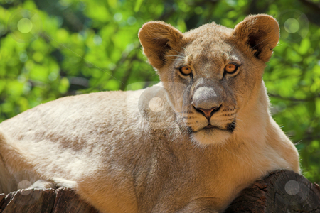 White Lion #2 stock photo, Lioness (Panthera Leo) lying down in a tree, South Africa by Sean Nel