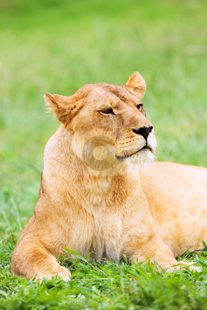 Young Lioness lying down in the grass stock photo, Lioness (Panthera Leo) lying down in the grass, South Africa by Sean Nel