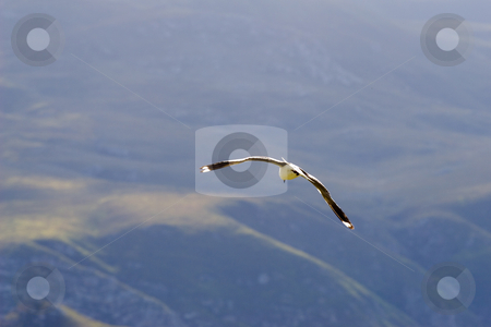 Bird #2 stock photo, Seagull flying away with a mountain in the background by Sean Nel