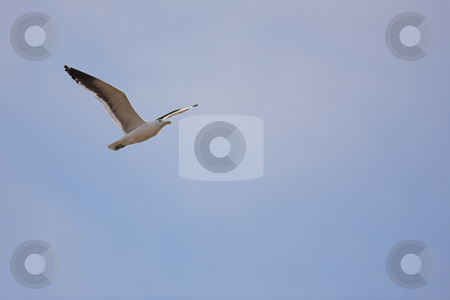 Seagull #3 stock photo, Cape Gull (Larus Vetula) soaring against blue sky - Copy Space by Sean Nel