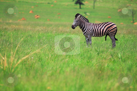 Male Zebra in a green field  stock photo, Male zebra grazing in the green veldt  by Sean Nel