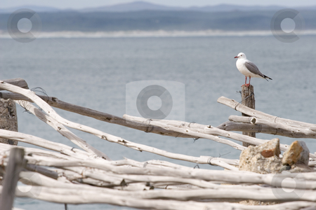 Bird #5 stock photo, Seagull sitting on wooden post by Sean Nel
