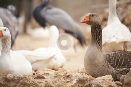 Brown duck stock photo, Brown duck standing next to white goose by Sean Nel