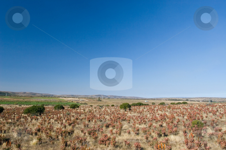 Plants #2 stock photo, Flowering Aloes in an Aloe field - South Africa by Sean Nel