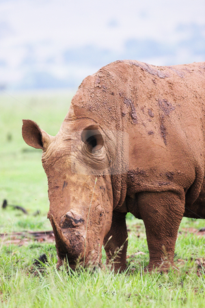 Mud encrusted rhinoceros eating green grass on a rainy day stock photo, A young rhinoceros feeding on fresh green grass in the Rietvlei Dam nature reserve in South Africa. It by Sean Nel