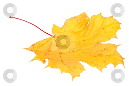 Yellow maple leaf, large DoF stock photo, Yellow maple autumn leaf on a white background by Vladimir Blinov