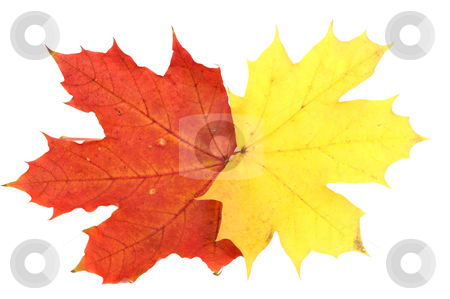Maple leaves, large DoF stock photo, Red and yellow maple autumn leaves on a white background by Vladimir Blinov