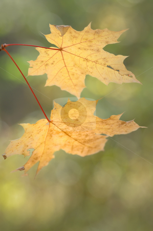 Autumn leaves stock photo, Two yellow maple autumn leaves, September in wood. by Vladimir Blinov