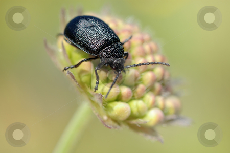 The beetle on a bud stock photo, The black beetle on a bud Knautia arvensis by Vladimir Blinov