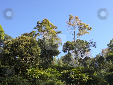 Cardamom plantation stock photo, Cardamom plantation and shade trees under a blue sky by Mike Smith