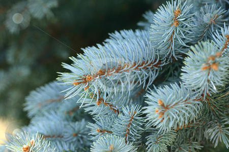 Picea Pungens - Blue Spruce stock photo, The Colorado Blue Spruce is one of the most popular garden conifers with lovely blue grey foliage by Leah-Anne Thompson