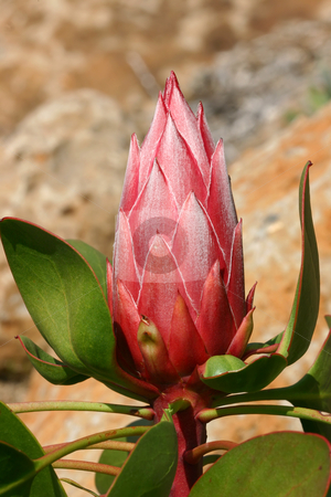 King Protea Pink stock photo, King protea bud has beautiful pink flowers with a silvery white feathery sheen. Leaves and stems are also edged in pinky red. Proteas are tough, flower most of the year and survive with minimal care but need full sun.  Long lasting flowers. Photographed at Mt Tomah Garden Australia by Leah-Anne Thompson