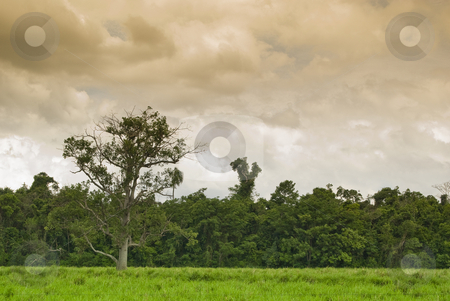 Tree stock photo, Old tree on the pasture with forest on background, farmland in southern Brazil. by Francisco Putini