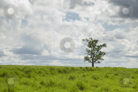 Tree stock photo, Old tree on the pasture, farmland in western Parana State, southern Brazil. by Francisco Putini