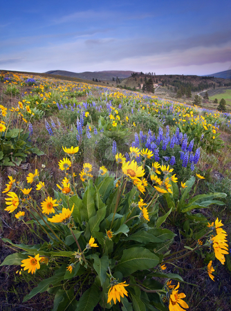 Blue and Gold stock photo, Balsamroot and lupine dot a hillside near the upper Wenas  Valley in Central Washington at sunset under smokey skies. by Mike Dawson