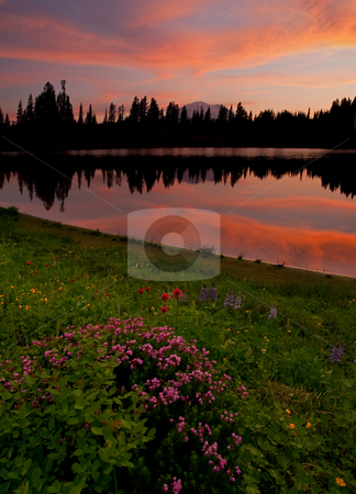 Mountain Heather Reflections stock photo, Mountain Heather, lupine and paintbursh line the shores of Lake Tipsoo at sunset with Mt Rainier hiding in the background. by Mike Dawson