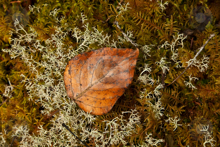Autumn Alaska Style stock photo, A alder leave rests on a bed of lichen and moss on a rock near the Mendenhall Lake by Mike Dawson