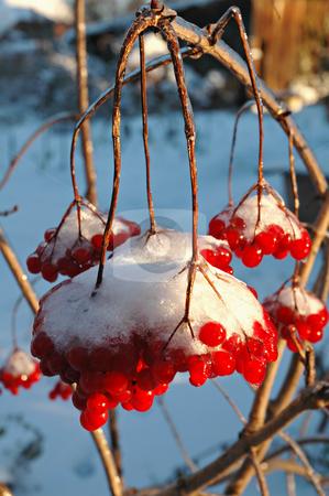 The viburnum in snow stock photo, The Snow-clad viburnum in my  winter garden by Olga Drozdova