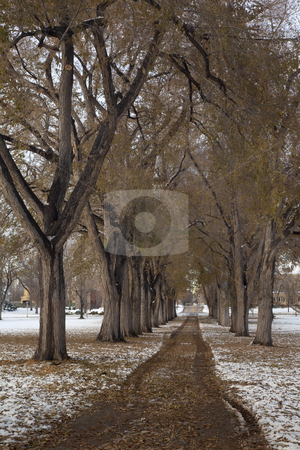 Alleey of old elm trees after snowstorm stock photo, Alleey of old elm trees with broken branches after early winter storm - the historical Oval at Colorado State University campus, Fort Collins by Marek Uliasz