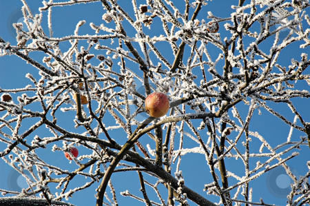 Lonely red apple  stock photo, Lonely forgotten red apple in the winter garden on the background of blue sky by Olga Drozdova