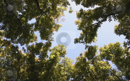 High trees stock photo, High trees in city park on a background of the cloudless sky by Valerij Kotulskij