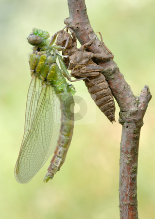 Birth of a dragonfly (series 5 photos)  stock photo, A series of 5 pictures out of the dragonfly larva skin. by Vladimir Blinov