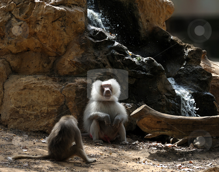 Hamadryad  stock photo, Male hamadryads with luxurious wool in a zoo. by Vladimir Blinov
