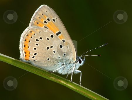 Butterfly on a blade of grass.  stock photo, Small spotted copper-butterfly sits on a blade of grass in a meadow. by Vladimir Blinov