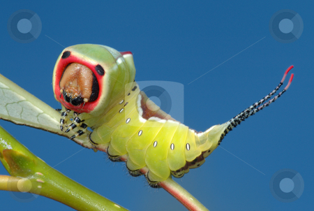 Caterpillar butterfly on a bush. stock photo, Big bright caterpillar of butterfly Cerura vinula to pose a threat. by Vladimir Blinov