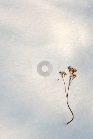 Snow  stock photo, The tops of the plants sticking out of the snow. by Vladimir Blinov