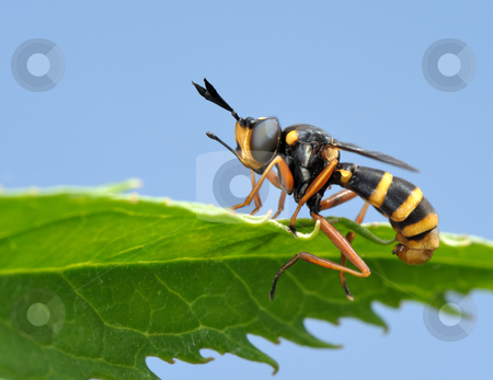 Fly on leaf  stock photo, Black and yellow fly on the leaf. Masked by wasp. by Vladimir Blinov