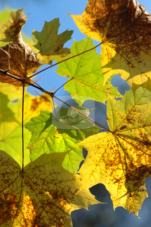 Autumn leaves. stock photo, Yellow autumn maple leaves on trees in park. by Vladimir Blinov