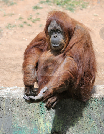 Orangutan  stock photo, Orangutan begging for a treat at the zoo. by Vladimir Blinov
