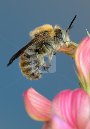 Luxurious bed  stock photo, Little bee asleep, clutching a flower petal. by Vladimir Blinov