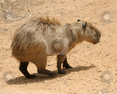 Agouti stock photo, Agouti, a large rodent from South America. by Vladimir Blinov