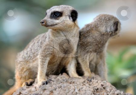 Suricata stock photo, Suricata, small carnivorous mammals, a pair of observers around the hole in the zoo. by Vladimir Blinov