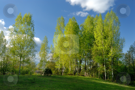 Rural landscape with birches  stock photo, Rural landscape, the young leaves of the birches, the beginning of May. by Vladimir Blinov