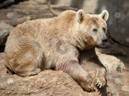 Bear  stock photo, Syrian bear with light fur at the zoo by Vladimir Blinov