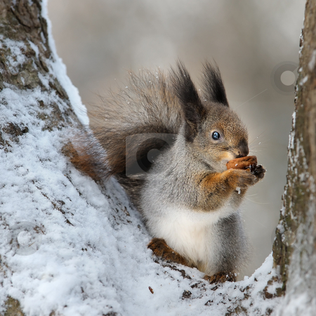 The squirrel with a nut. stock photo, The squirrel gnaws a nut in a tree fork. by Vladimir Blinov