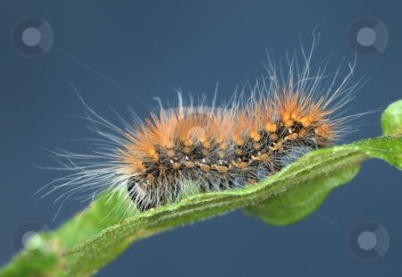Hairy caterpillar stock photo, Black caterpillar with long hairs of orange and white color by Vladimir Blinov