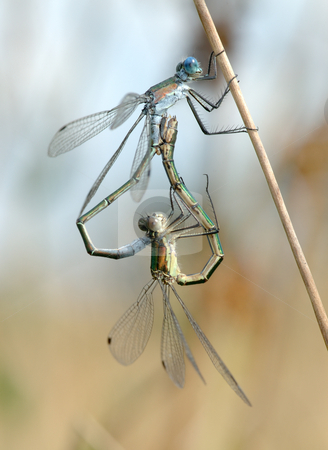 Two dragonflies  stock photo, Two dragonflies Lestes on a blade of grass in the process of pairing by Vladimir Blinov
