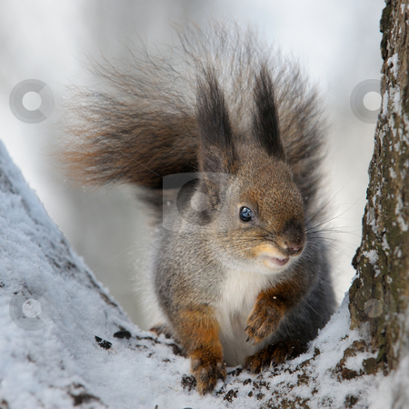 The squirrel. stock photo, The squirrel in the winter in a tree fork. by Vladimir Blinov