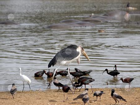 Marabou  stock photo, Marabou stork among the birds on the lake by Vladimir Blinov