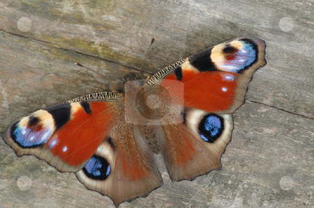 Butterfly peacock stock photo, Butterfly peacock in the background texture of wood. by Vladimir Blinov