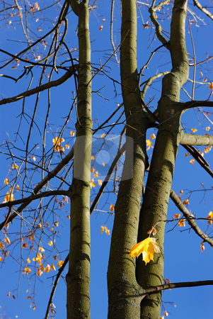 Autumn leaves. stock photo, Yellow autumn maple leaves on trees in park. by Vladimir Blinov